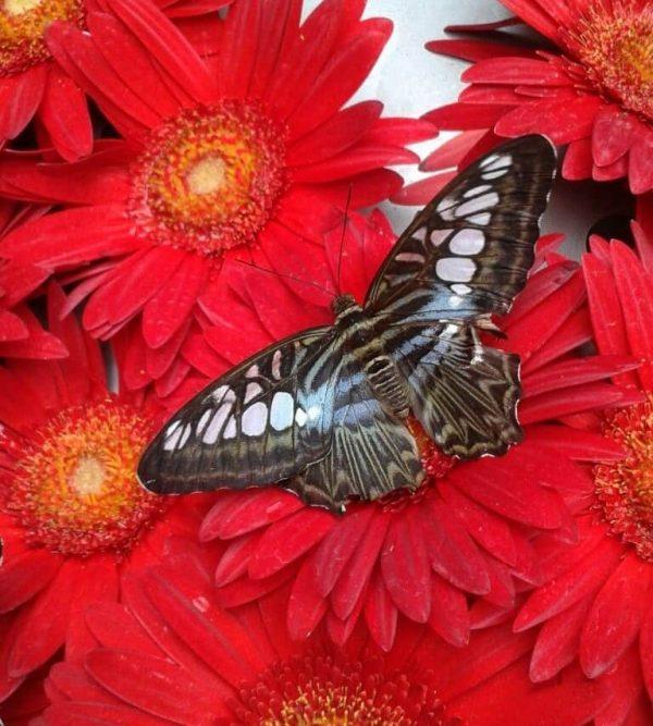 Mariposa sobre flores rojas