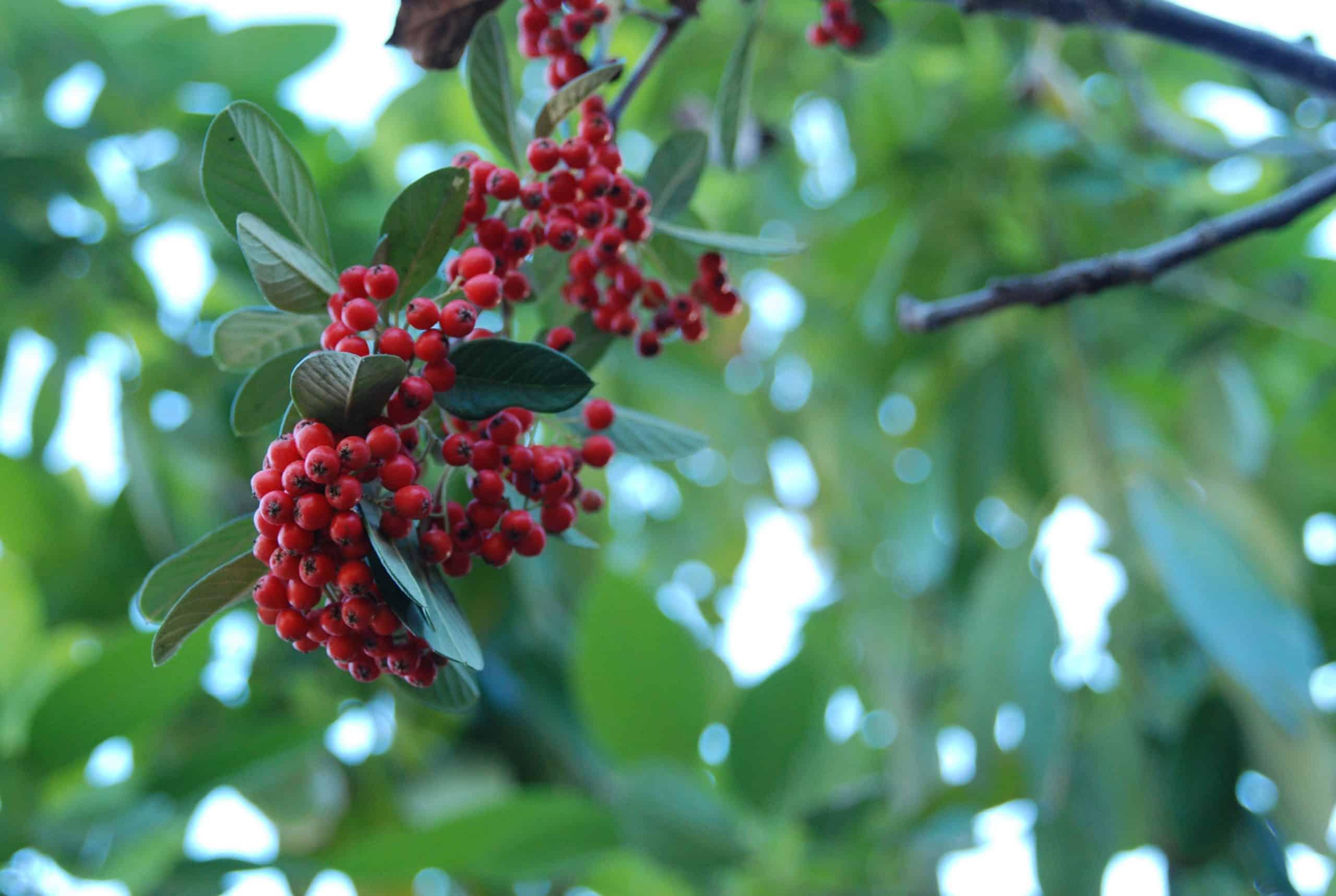 Árbol con frutos rojos