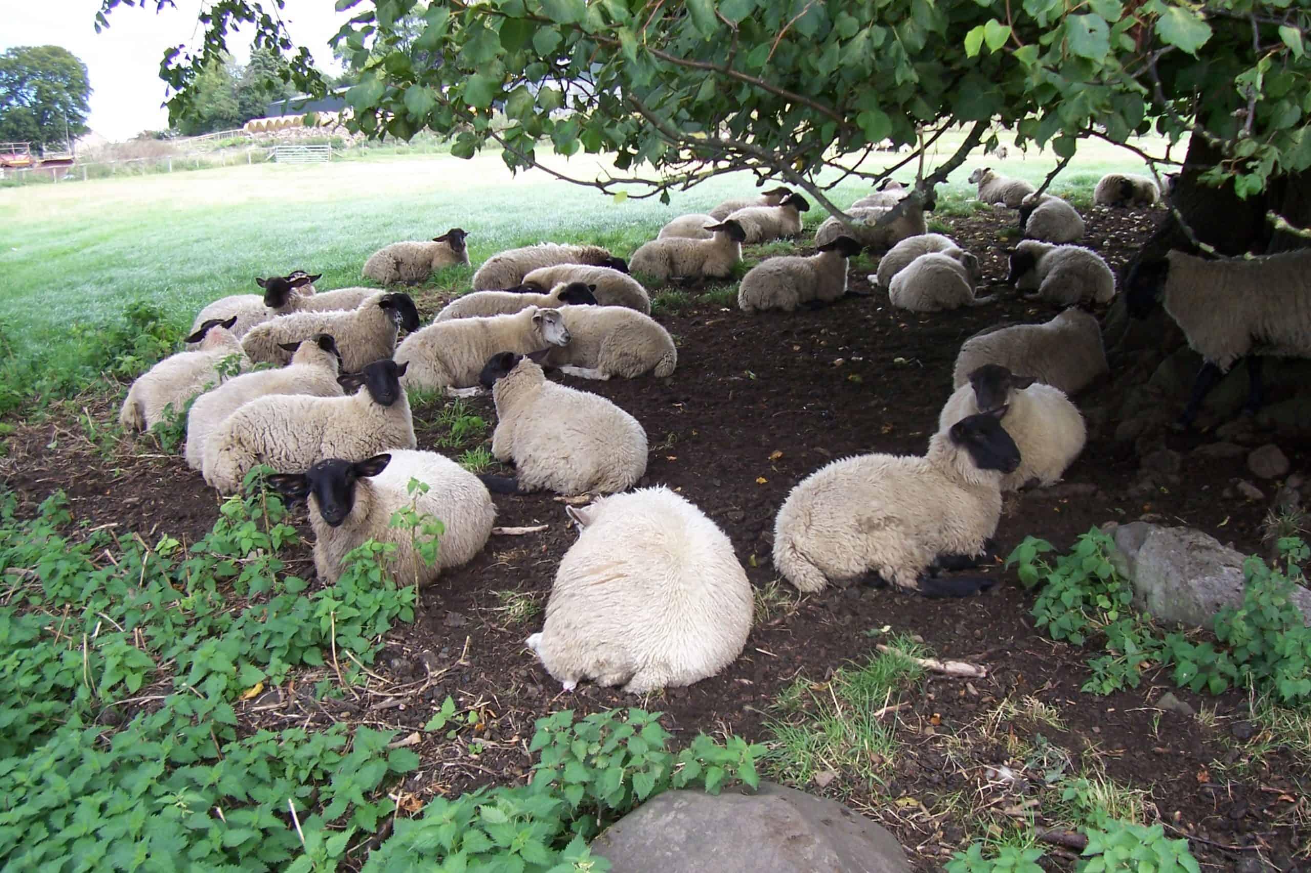 Ovejas bajo un árbol