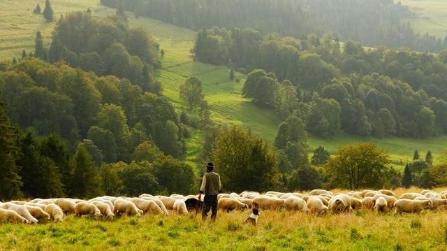 Ovejas en el campo junto a pastor