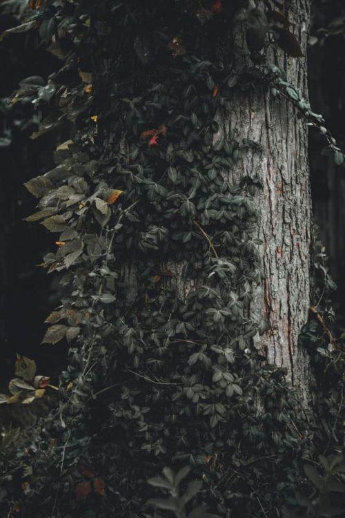Árbol cubierto por planta enredadera